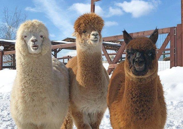 Gli alpaca russi