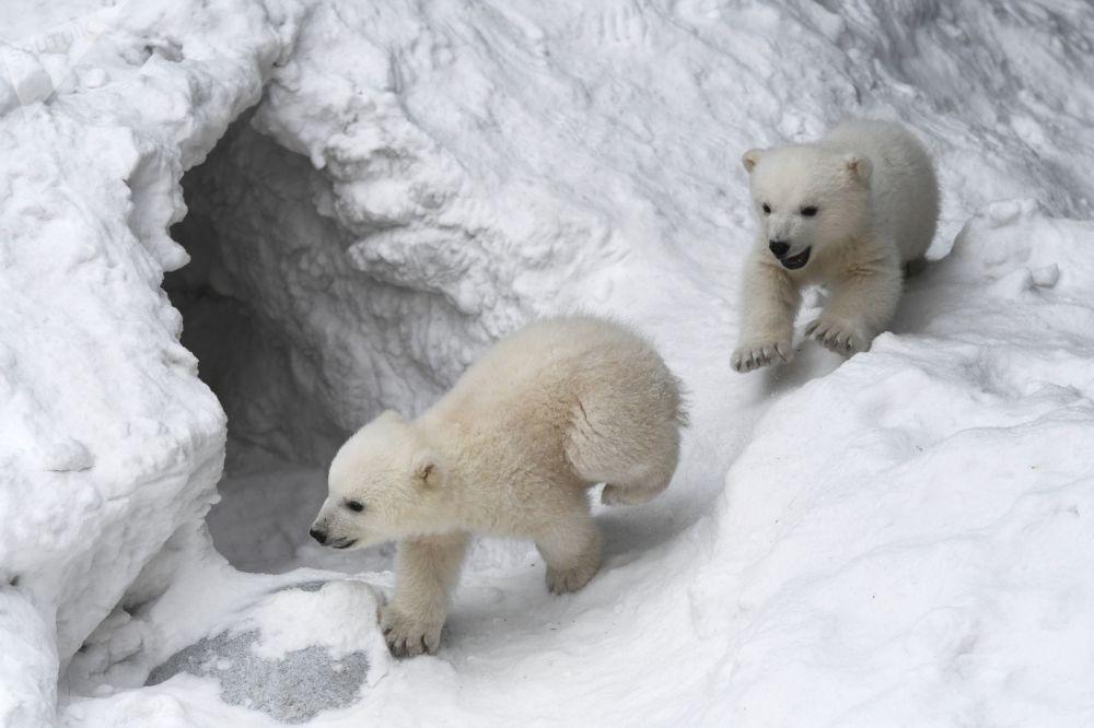 Orsi polari allo zoo di Novosibirsk