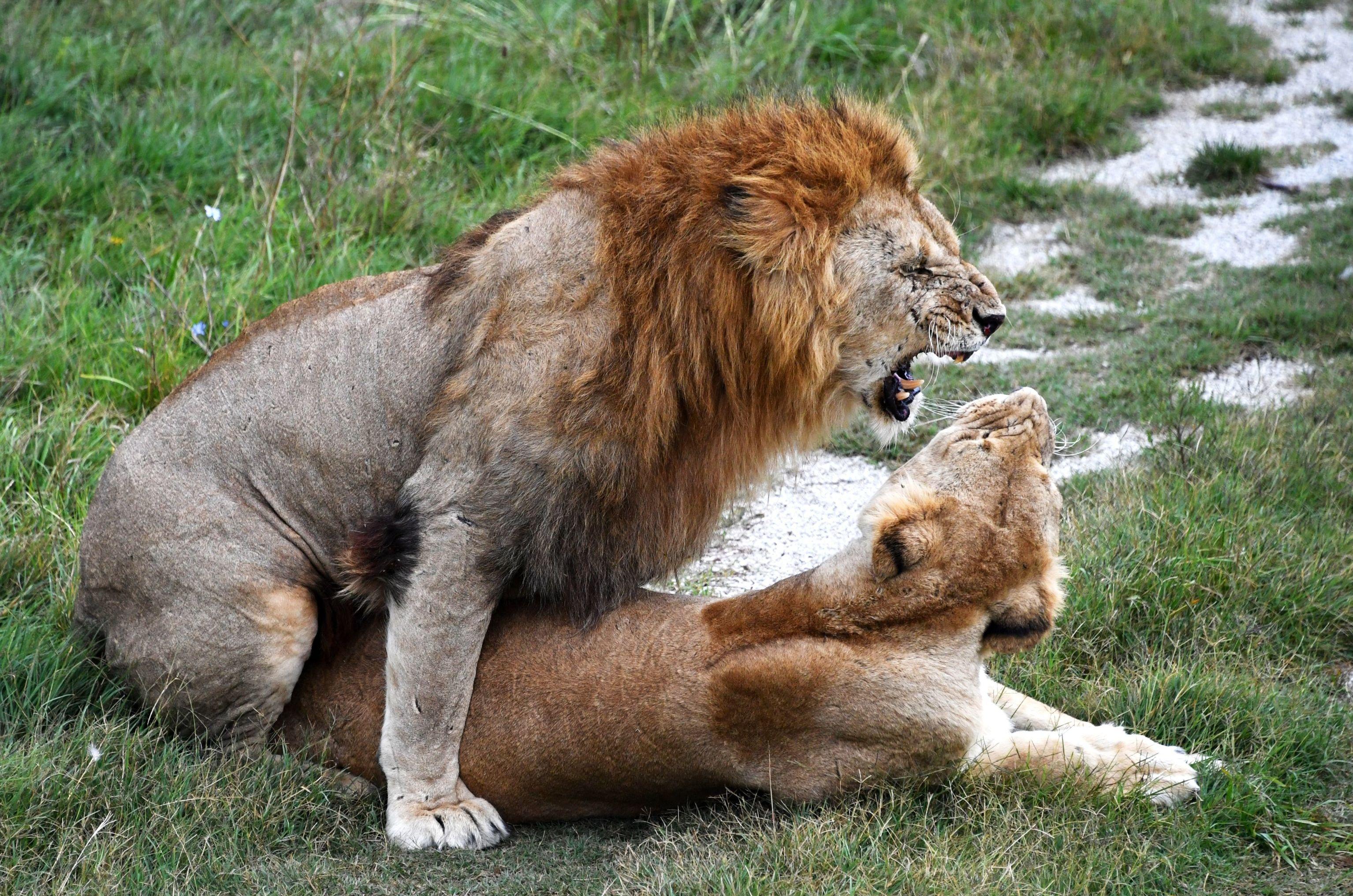 I leoni