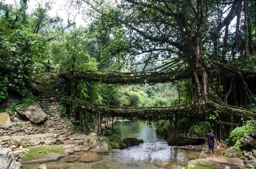 Giungla - India: un ponte costruito intrecciando radici aeree di baniano