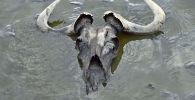 La carcassa di uno Gnu nel lago Natron in Tanzania
