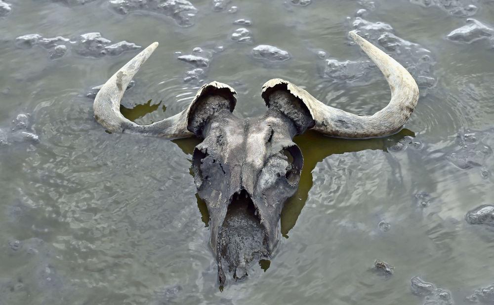 Le corna di uno gnu nel lago Natron, in Tanzania: le acque del lago hanno un'alta concentrazione di sodio, che agisce sulle carcasse degli animali entrate in contatto con l'acqua, imbalsamandole