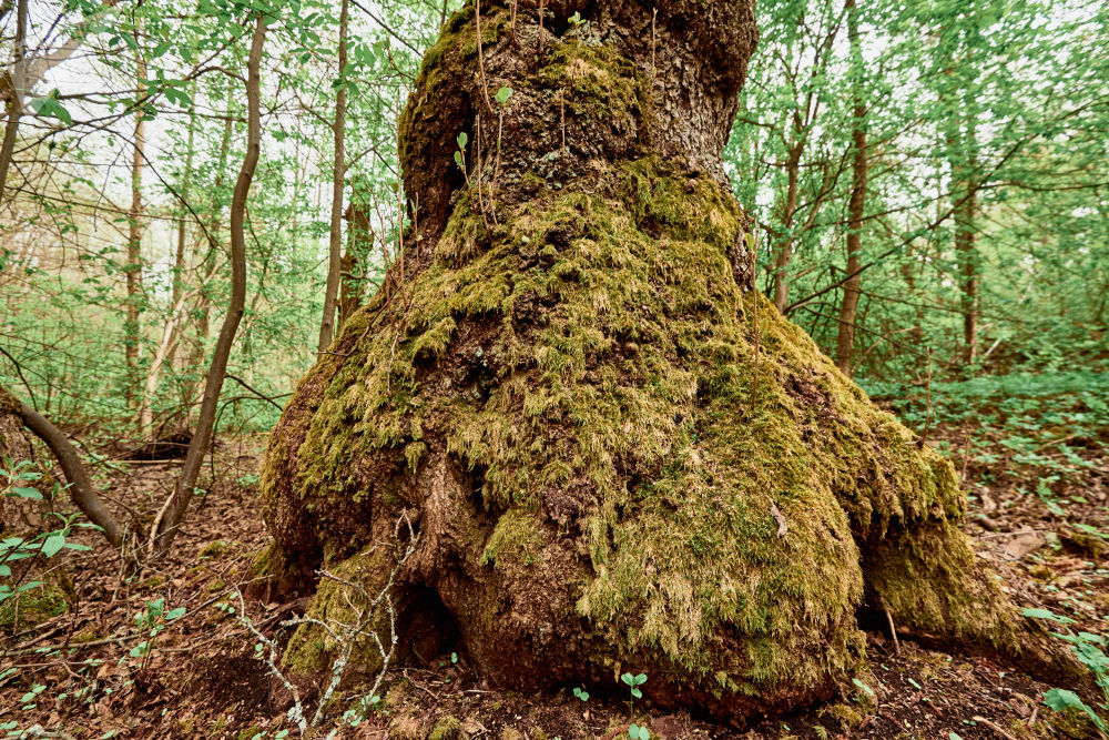 Il muschio ricopre un'anziano albero, tanto da renderlo simile ad un mostro
