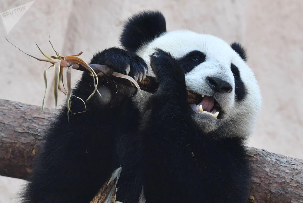 Il panda donato allo Zoo di Mosca dalla Cina.