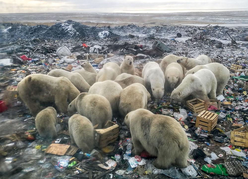 Questi orsi bianchi si sono spinti fino in una discarsica per trovare del cibo, nei dintorni del vilaggio di Belush'ya Guba, nell'estremo nord russo dell' arcipelago della Novaya Zemlya