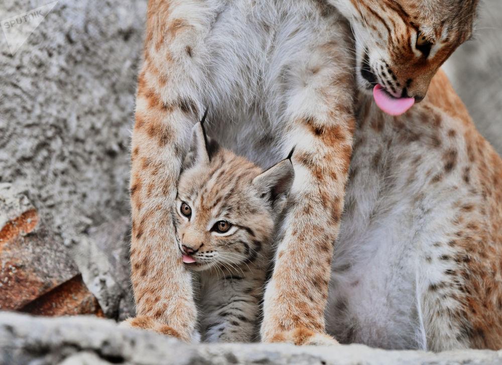Il cucciolo nato il 20 maggio da una coppia di lince della Siberia orientale, Gaika e Chip, nella voliera dello zoo di Mosca.
