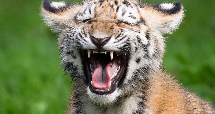 Il cucciolo di tigre siberiana.