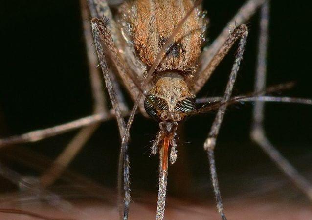 Zanzara punge