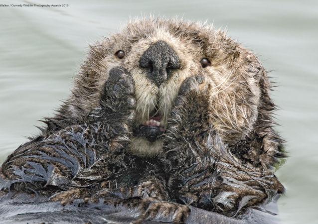 Lontra di mare e le sue emozioni genuine. Lo scatto del fotografo americano Harry M. Walker.