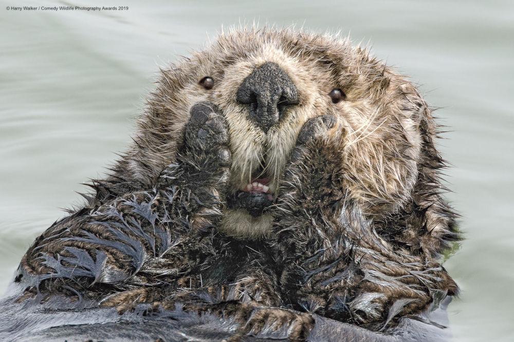 Una lontra di mare e le sue emozioni genuine. Lo scatto del fotografo americano Harry M. Walker.