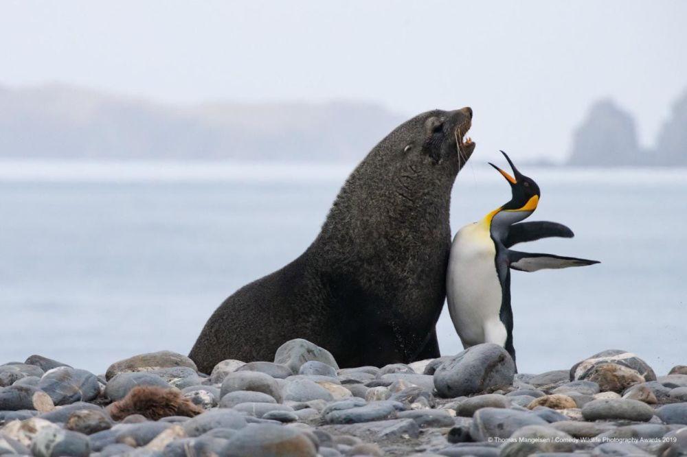 La foto Petto a petto tra un pinguino reale ed una foca monaca di Tom Mangelsen.