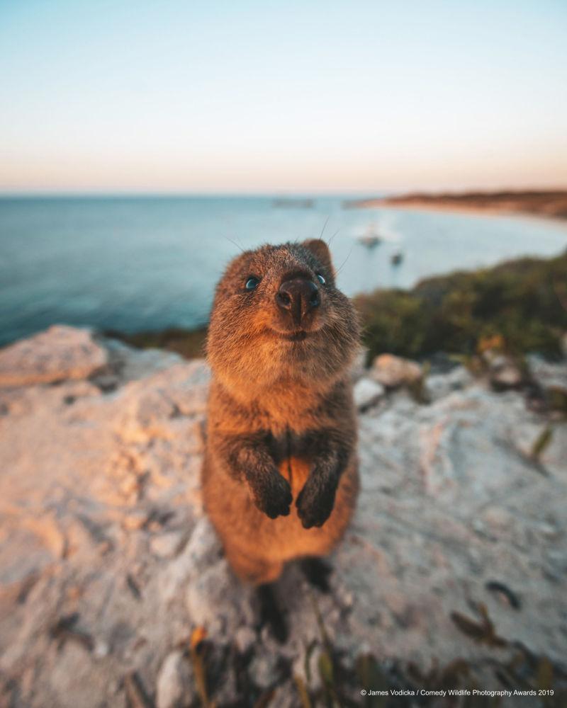 Un quokka curioso nella foto Mi scusi! del fotografo australiano James Vodicka.