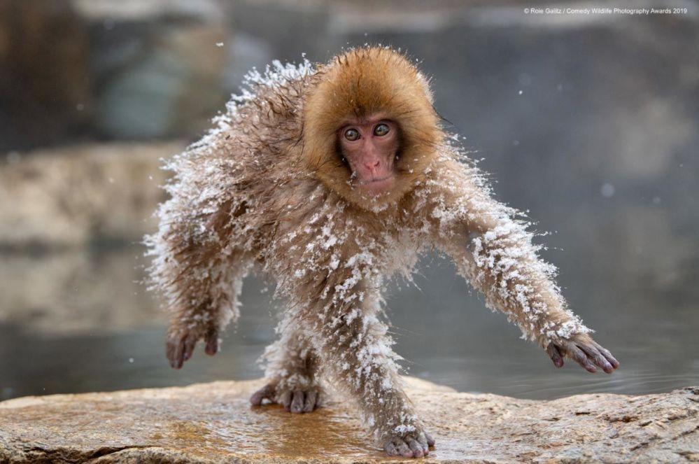 Il moonwalk di un macaco del Giappone (macaca fuscata).