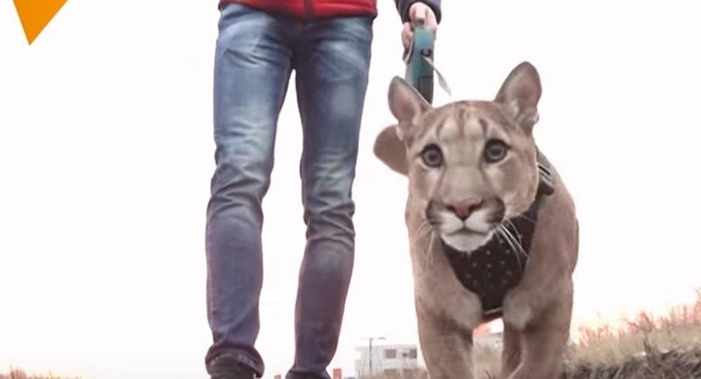 Puma al guinzaglio