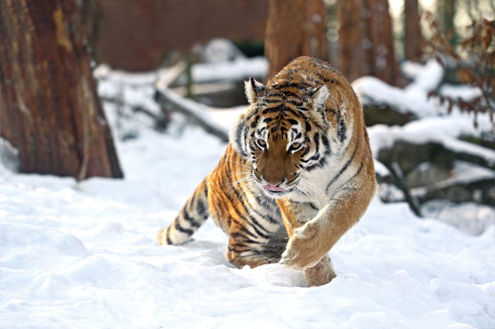 La tigre dell'Amur d'inverno