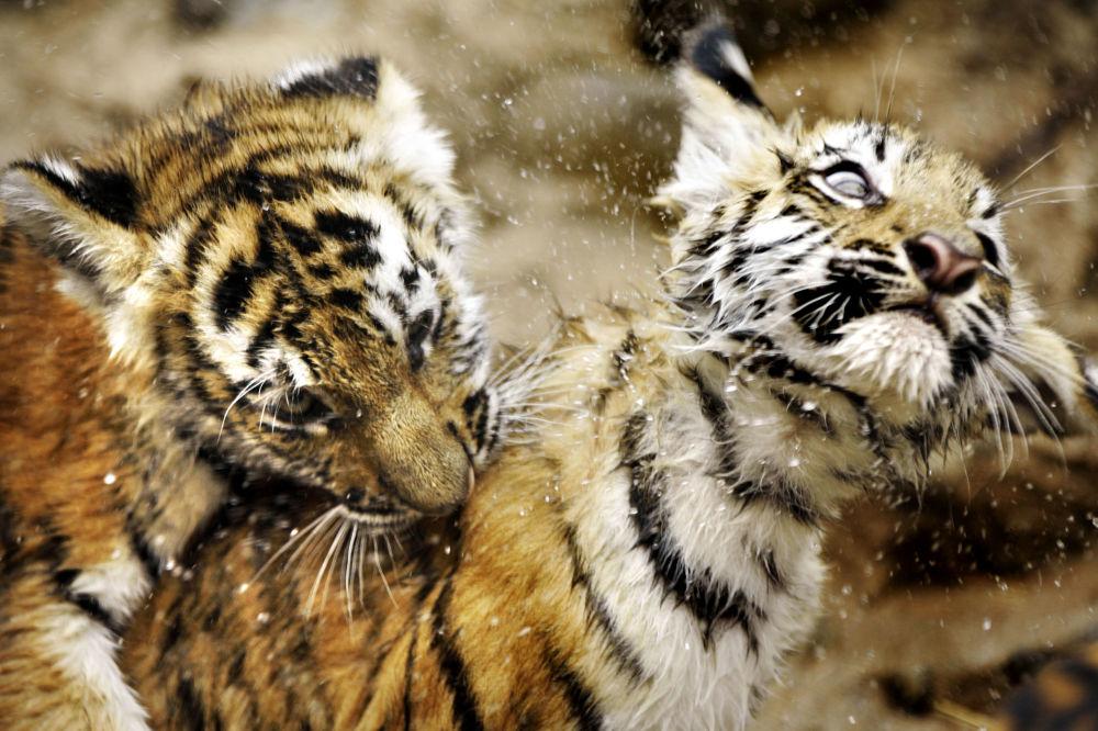 Due cuccioli di tigre dell'Amur giocano nello zoo