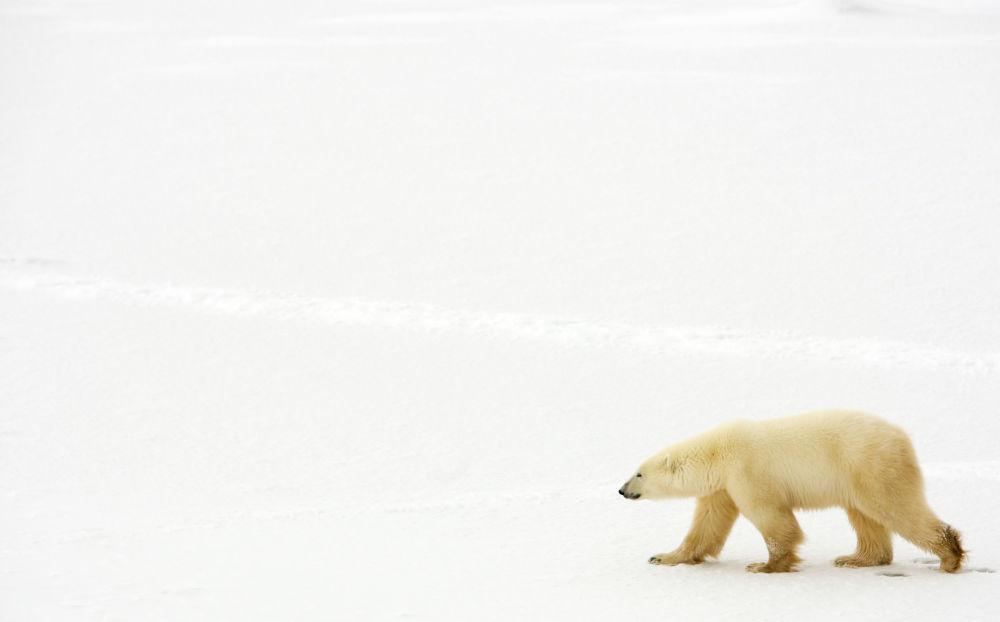 Orso polare vicino alla Baia di Hudson, Canada