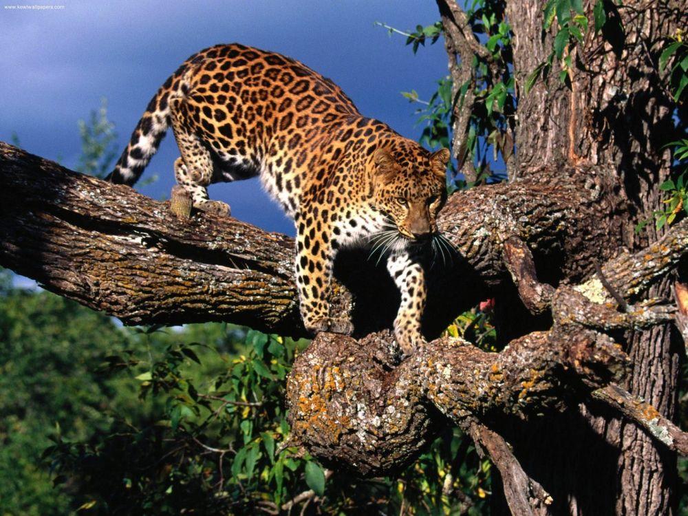 Il leopardo dell'Amur