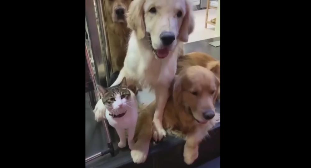 Gatto e Golden Retriever