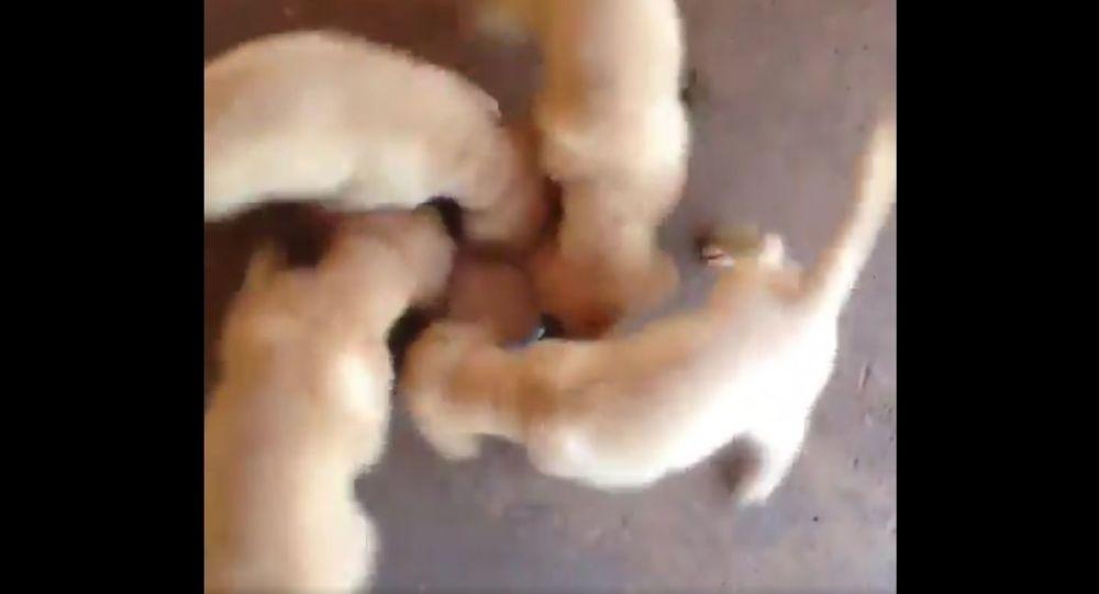 Ecco come mangiare e fare sport allo stesso tempo secondo dei cuccioli di Golden Retriever