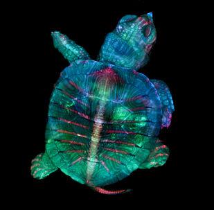 La foto 'Un embrione fluorescente di tartaruga' di Teresa Zgoda e Teresa Kugler (USA), vincitrice del primo premio al concorso fotografico Nikon Small World-2019