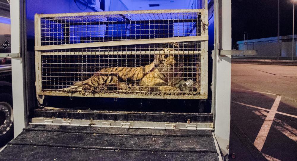 Una delle tigri al confine tra Polonia e Bielorussia