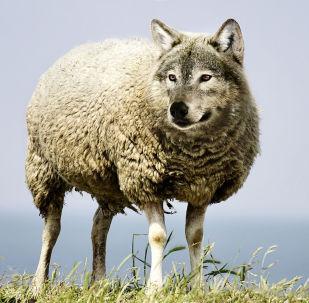 Pecora-Lupo - immagine metaforica
