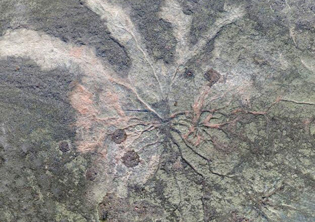 Ramificazione pietrificata degli alberi più antichi del pianeta