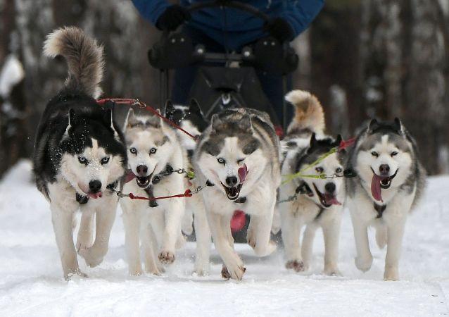 Cani di razza Siberian Husky nella tradizionale competizione di Capodanno Gara di pupazzi di neve 2020 nel territorio di Krasnoyarsk presso l'arena sciistica Snezhinka nella città di Sosnovoborsk