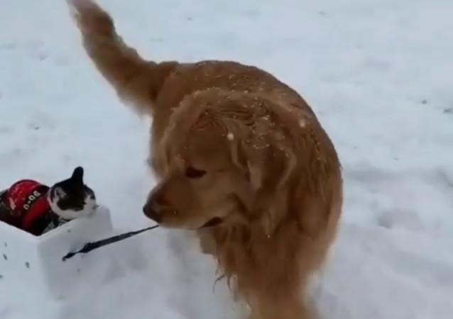 Conquista il web video di un gatto sullo slittino trascinato da un cane