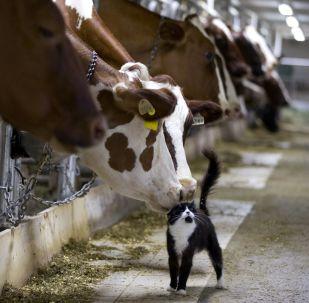 Mucche (foto d'archivio)