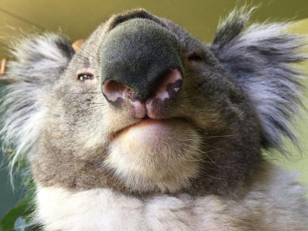 Un koala al Bonorong Wildlife Sanctuary, Tasmania, Australia
