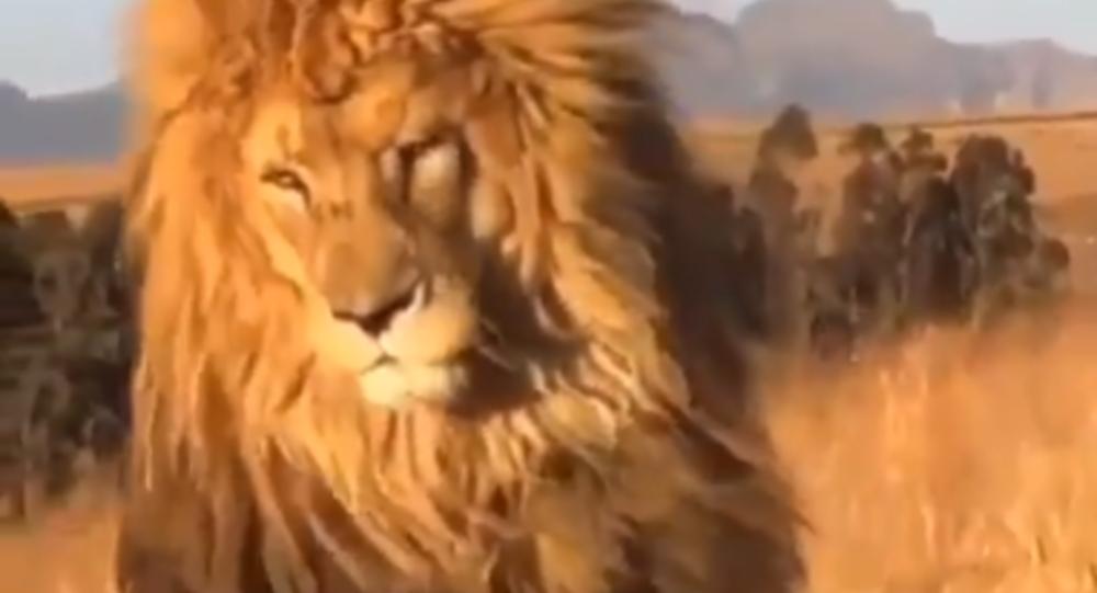 Sono favoloso! Leone fiero mostra la sua fantastica criniera - Video