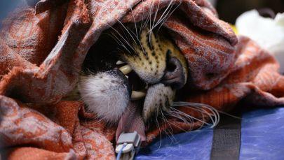 Il leopardo dell'Amur Leo 131M Elbrus nel Centro di riabilitazione per tigri ed altri animali a Vladivostok.