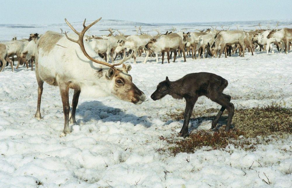Una renna con il suo cucciolo