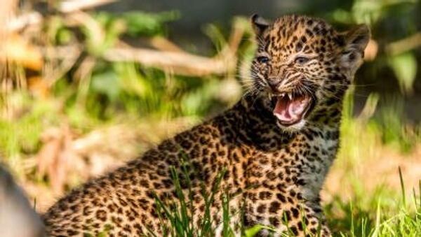 Детеныш леопарда из Шри-Ланки в зоопарке города Мобеж - Sputnik Italia