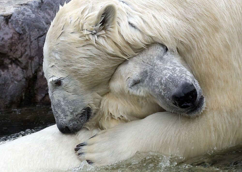 Una coppia di orsi bianchi