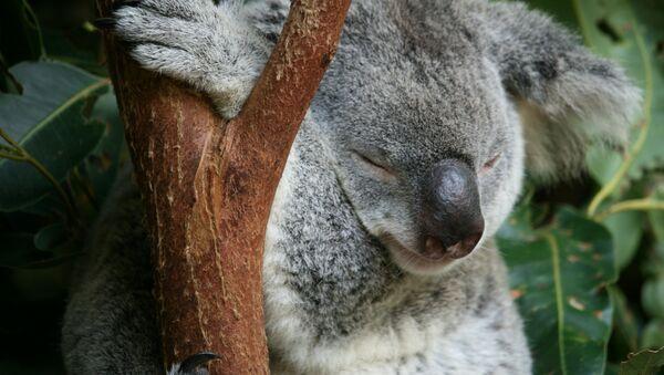 A little Koala performing its favourite task at Australia Zoo, QLD - Sputnik Italia