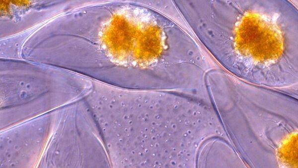 L'organismo unicellularePyrocystis lunula - Sputnik Italia