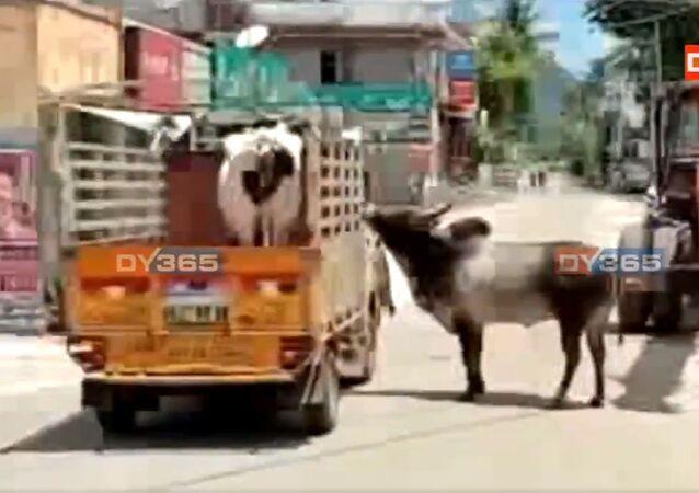 Tamil Nadu: il toro e la sua amata mucca