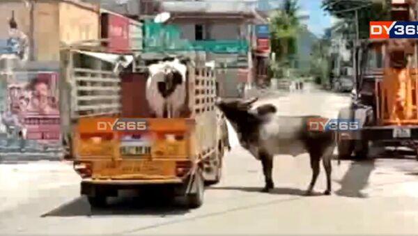 Tamil Nadu: il toro e la sua amata mucca - Sputnik Italia