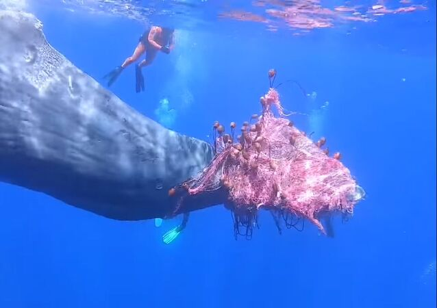 Un capodoglio si è impigliato in una rete da pesca illegale al largo di Salina, in Sicilia