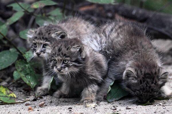 I cuccioli di gatto Pallas allo zoo di Novosibirsk, Russia - Sputnik Italia