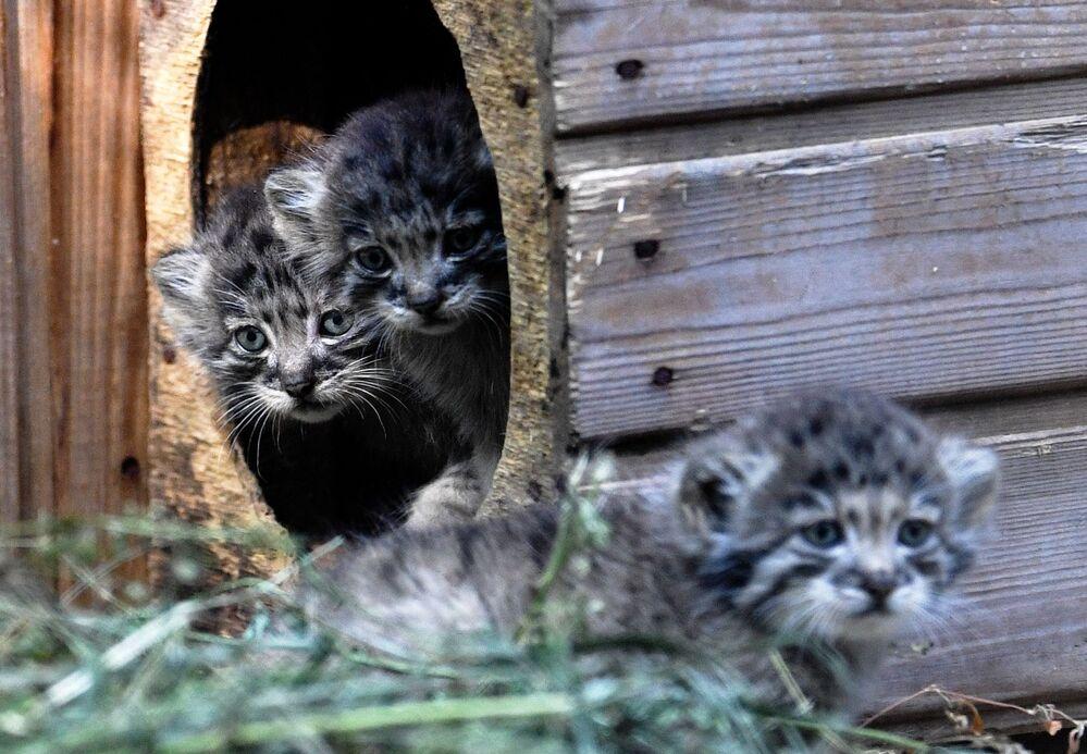 I cuccioli di gatto Pallas allo zoo di Novosibirsk, Russia