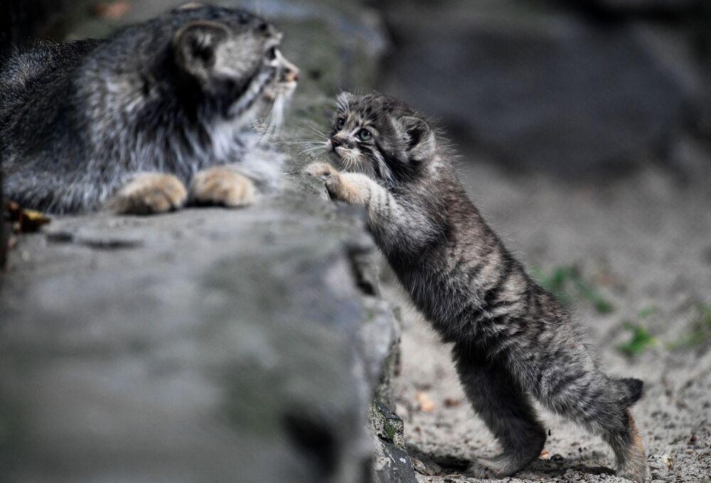 I cuccioli di gatto Pallas giocano allo zoo di Novosibirsk, Russia