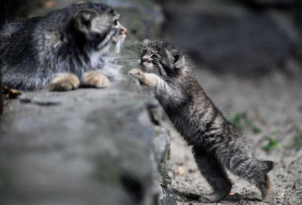 I cuccioli di gatto Pallas giocano allo zoo di Novosibirsk, Russia - Sputnik Italia