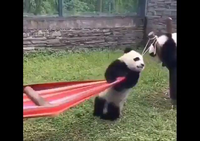 Quando si dice una brutta giornata: Panda cerca di salire su un'amaca - Video
