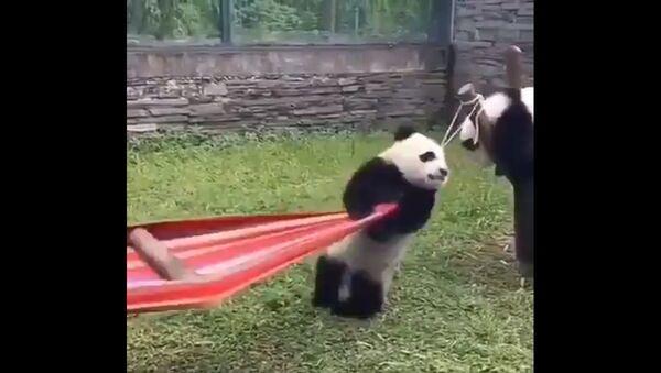 Quando si dice una brutta giornata: Panda cerca di salire su un'amaca - Video - Sputnik Italia