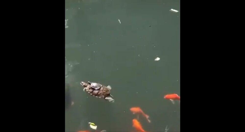 Tartaruga su dorso di altra tartaruga