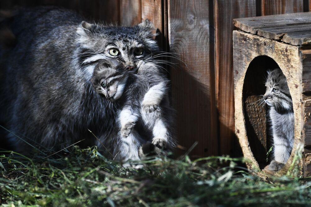 Un gatto di Pallas con un cucciolo allo zoo di Novosibirsk, Russia
